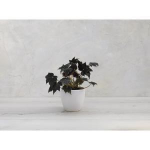 根茎性ベゴニア 黒鷲 Kurowashi 花、ガーデニング 観葉植物 (44700)|kagoen-nursery