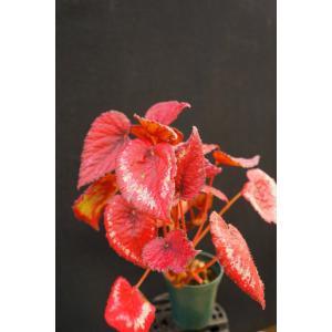 根茎性ベゴニア タンバリン Tambourine|kagoen-nursery