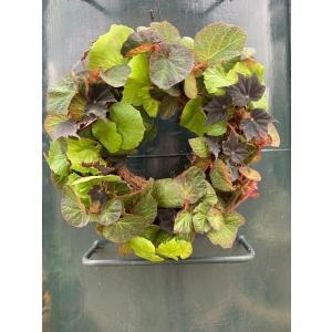 begonian begonian Wreath 花、ガーデニング 観葉植物 (44700) kagoen-nursery