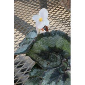 根茎性ベゴニア エスカルゴ Escargot|kagoen-nursery