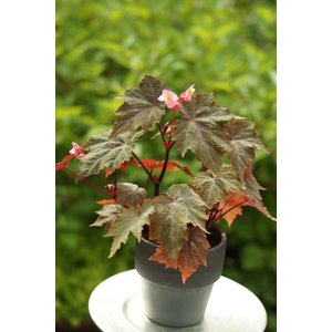 根茎性ベゴニア ロビン Robin 花、ガーデニング 観葉植物 (44700)|kagoen-nursery