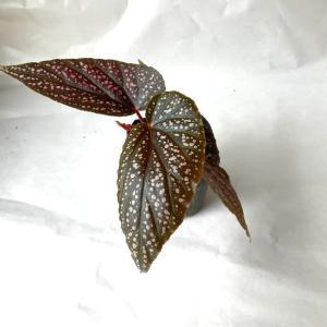 木立性ベゴニア ベニゴ B.Benigo 花、ガーデニング 観葉植物 (44700)|kagoen-nursery