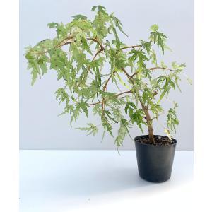 球根性ベゴニア アメージングレース Amazing Lace|kagoen-nursery