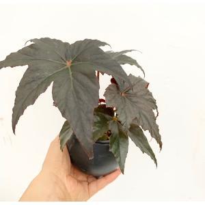 (現品)根茎性Begonia バッシュフルバンディット B.Bashful Bandit 花、ガーデニング 観葉植物 (44700)|kagoen-nursery