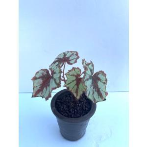 (現品)球根性ベゴニア グラナダ B.Granada 花、ガーデニング 観葉植物 (44700) kagoen-nursery