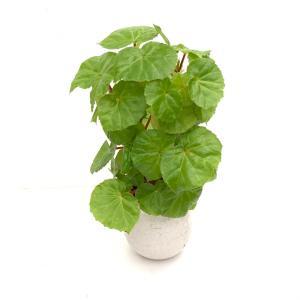 (現品)木立性ベゴニア ゴールデンガール 花、ガーデニング 観葉植物 (44700)|kagoen-nursery