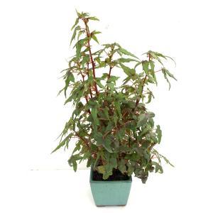 (現品)球根性ベゴニア ドレゲィB.dregei   花、ガーデニング 観葉植物 (44700)|kagoen-nursery