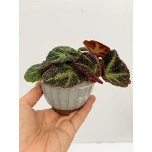 (現品)木立性ベゴニア ブラジルSp. 花、ガーデニング 観葉植物 (44700)|kagoen-nursery