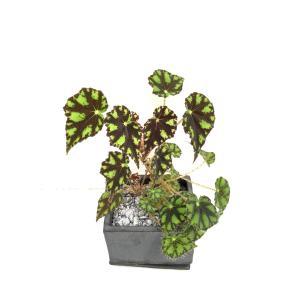 (現品)根茎性ベゴニア ボウエレニグラマルガ B.bowerae var.nigramarga(sp)花、ガーデニング 観葉植物 (44700)|kagoen-nursery