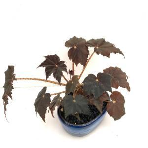 (現品)黒鷲 花、ガーデニング 観葉植物 (44700)|kagoen-nursery
