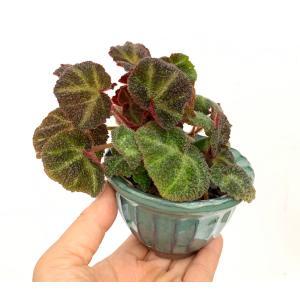 根茎性ベゴニア ブラジルSP. 花、ガーデニング 観葉植物 (44700) kagoen-nursery