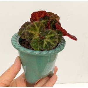 (現品)根茎性ベゴニア ブラジルSP. 花、ガーデニング 観葉植物 (44700)|kagoen-nursery