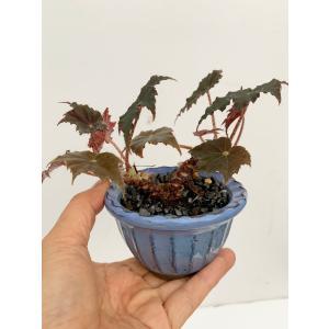 (現品)根茎性ベゴニア 黒鷲  花、ガーデニング 観葉植物 (44700)|kagoen-nursery
