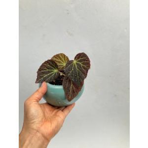 (現品)根茎性ベゴニア クロロネウラ B.chloroneura(sp.)   花、ガーデニング 観葉植物 (44700) kagoen-nursery