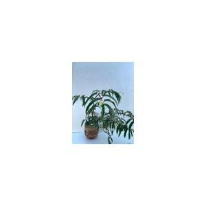 (現品)木立性ベゴニア エキノセパラ B.echinosepala 花、ガーデニング 観葉植物 (44700) kagoen-nursery