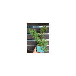 球根性ベゴニア アメージングレースレースB.Amazing Lace 花、ガーデニング 観葉植物 (44700) kagoen-nursery