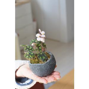 盆栽Begonia ロックガーデン 花、ガーデニング 観葉植物 (44700)|kagoen-nursery