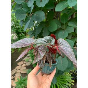 盆栽Begonia ベニゴ|kagoen-nursery