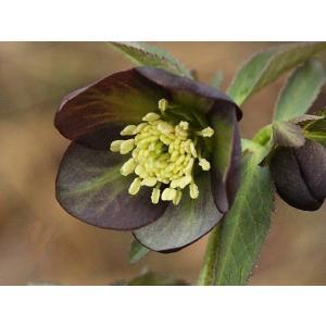 アトロルーベンスH.atrorubens プロダクトカテゴリ ヘルプ 検索対象 設定内容 花、ガーデニング その他花、ガーデニング (4101)
