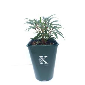 フェチダス ウエスターフリスク  H foetidus. Wester Frisk 花、ガーデニング その他花、ガーデニング (4101