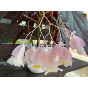 (現品)木立性ベゴニア シャロン・シラートB.Sharon Sheelert 花、ガーデニング 観葉植物 (44700)|kagoen-nursery