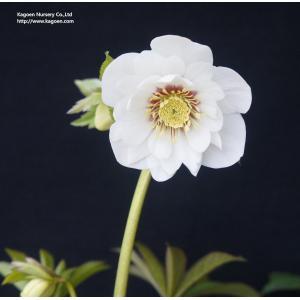 クリスマスローズ ホワイトキャットアイ 花、ガーデニング その他花、ガーデニング (4101)|kagoen-nursery