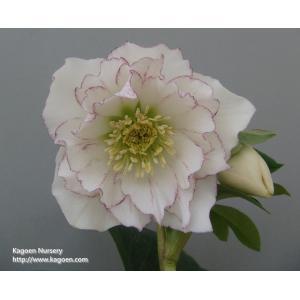 クリスマスローズ  花、ガーデニング その他花、ガーデニング (4101)紫式部|kagoen-nursery