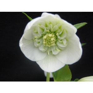 クリスマスローズ ホワイトセミダブル 花、ガーデニング その他花、ガーデニング (4101)|kagoen-nursery