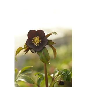 クリスマスローズ 究極の黒 花、ガーデニング その他花、ガーデニング (4101)|kagoen-nursery