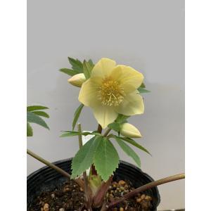 クリスマスローズ イエロー赤フラッシュ 花、ガーデニング その他花、ガーデニング (4101)|kagoen-nursery