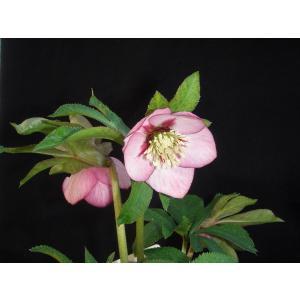 クリスマスローズ 紅ピコティベイン 花、ガーデニング その他花、ガーデニング (4101)|kagoen-nursery