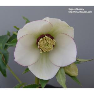クリスマスローズ 白糸ピコティ 花、ガーデニング その他花、ガーデニング (4101)|kagoen-nursery