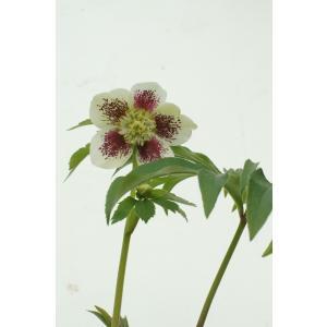 クリスマスローズ チョコレートブロッチセミダブル 花、ガーデニング その他花、ガーデニング (4101)|kagoen-nursery
