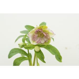 クリスマスローズ 霜降り絣 花、ガーデニング その他花、ガーデニング (4101)|kagoen-nursery