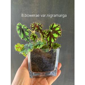 Cubic Begonia【ボウエレニグラマルガ】  花、ガーデニング 観葉植物 (44700)|kagoen-nursery