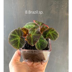 Cubic Begonia【ブラジルsp】  花、ガーデニング 観葉植物 (44700)|kagoen-nursery