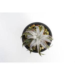 (現品)ディッキア D.Brittle Star F2 × (Tarzan × Heven and Hell)#N025 Sueb Hyb 花、ガーデニング サボテン、多肉植物 (44699)|kagoen-nursery