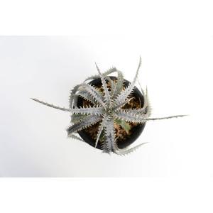 (現品)ディッキア  D.Nagas Hyb.PS#011×PS#011 花、ガーデニング サボテン、多肉植物 (44699)|kagoen-nursery