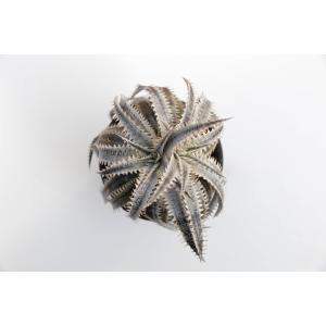(現品)ディッキア D.#N028(Toothy×R.Kaz)×Silver Star Hyb. Sueb Hyb. 花、ガーデニング サボテン、多肉植物 (44699)|kagoen-nursery
