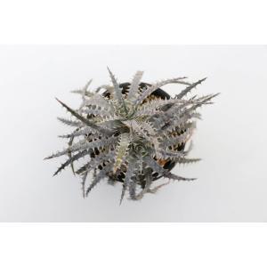 (現品)ディッキア D.Briar Patch × Bear Bone Panus Hybrid  花、ガーデニング サボテン、多肉植物 (44699)|kagoen-nursery