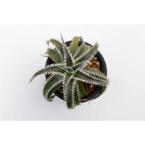 (現品)ディッキア   D.Silver Diamond ×Tarzan Sueb.Hyb. 花、ガーデニング サボテン、多肉植物 (44699)|kagoen-nursery
