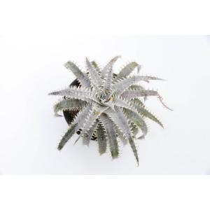 (現品)ディッキア D.Tracking codeFWF×Winter Edge Panus Hybrid 花、ガーデニング サボテン、多肉植物 (44699)|kagoen-nursery