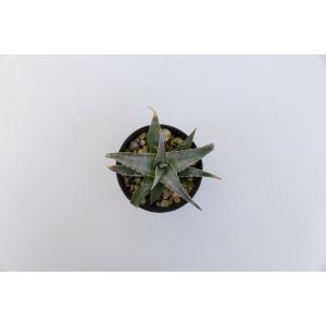 (現品)ディッキア D.ml Super Wide × Mt of Needles Panus Hybrid    花、ガーデニング サボテン、多肉植物 (44699)|kagoen-nursery