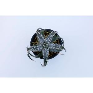 (現品)ディッキア D.PSB10 Quantum ×Mercury Panus Hybrid 花、ガーデニング サボテン、多肉植物 (44699)|kagoen-nursery
