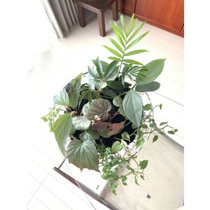 Lounge Begonia|kagoen-nursery