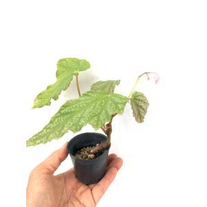 根茎性ベゴニア 原種   フォルモサーナ Begonia formosana f.albomaculata|kagoen-nursery