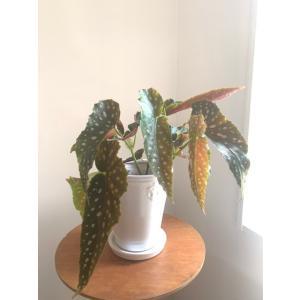 木立性ベゴニア 流れ星 花、ガーデニング 観葉植物 (44700)|kagoen-nursery