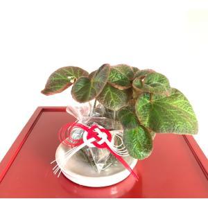 苔玉 木立性ベゴニア アラモソリ B.Alamo Soli 花、ガーデニング 苗 花 (44713) kagoen-nursery