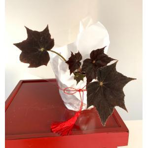 根茎性ベゴニア 黒鷲 花、ガーデニング 観葉植物 (44700 kagoen-nursery
