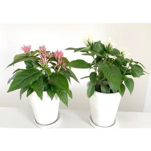 フラミンゴプランツ 紅白セット Justicia carnea 花、ガーデニング 苗 花 (44713) kagoen-nursery